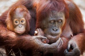 Orang utans at Camp Leakey, Kalimantan, Borneo
