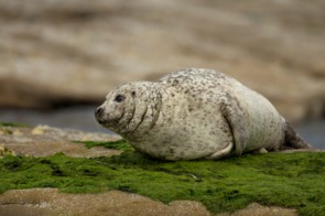 Common seal on the Isle of Noss, Scotland