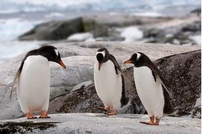 Gentoo penguins on Petermann Island, Antarctica