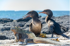 Flightless cormorants and marine iguana on Fernandina Island, Galapagos