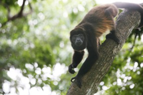 Spider monkey in Panama