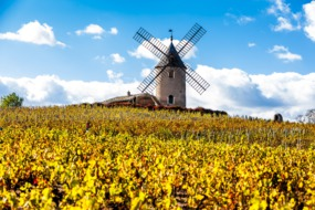 Windmill and vineyard in Beaujolais, France