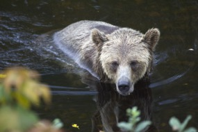 Grizzly bear at Knight Inlet, Canada