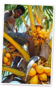 coconut sourcing