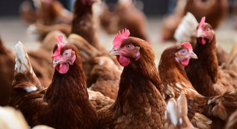 Bird Flu: What you need to know