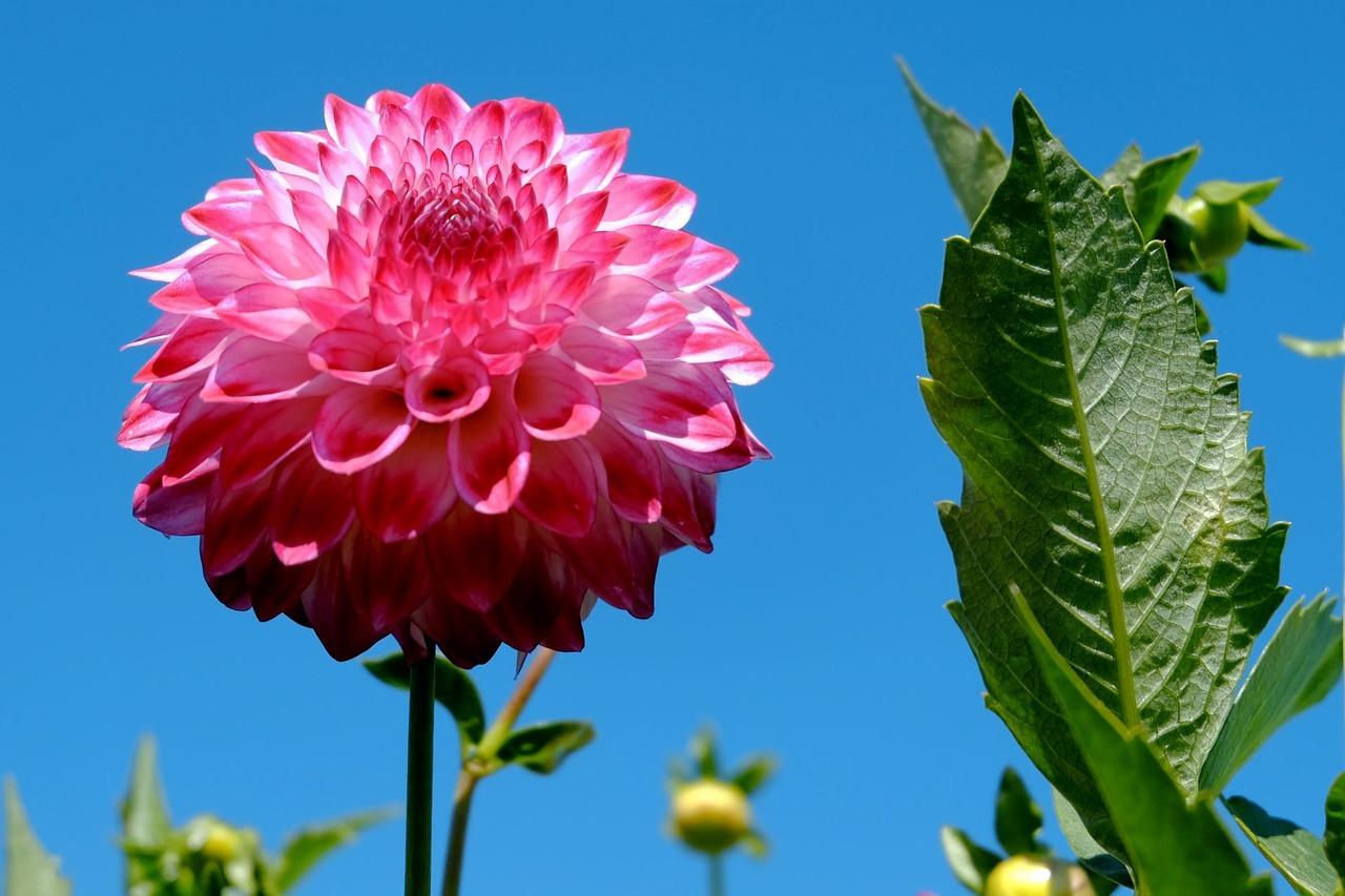 Dahlia Diva Among Summer Flowers Mygarden
