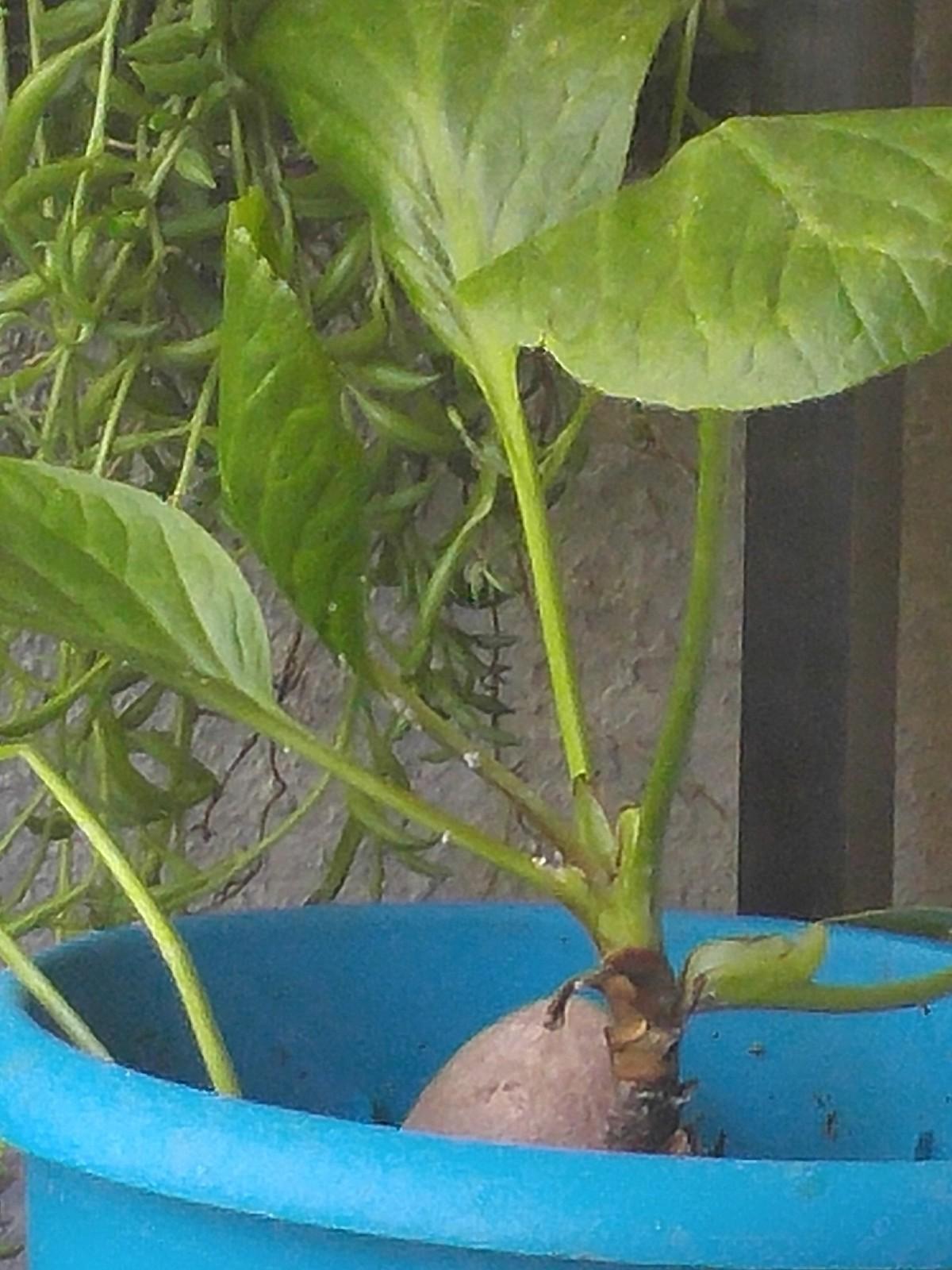 Peace lily spathiphyllum cochlearispathum mygarden photo peace lily izmirmasajfo
