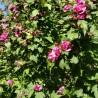Photo: 'Double rose'