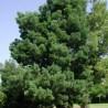 Photo: Outeniqua yellowwood