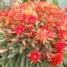 Photo: Peanut cactus