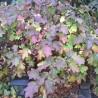 Photo: Oakleaf hydrangea