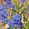 Photo: Californian Lilac 'Concha'