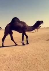 للبيع البعير ضرابه زين وهدي