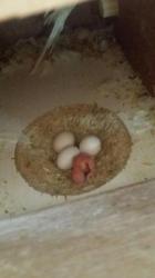 جوز هوقو منتج مع البيض للبيع