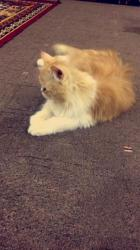 قطه شرازيه -انثى للبيع