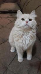 قطة انثى جميلة للتبني