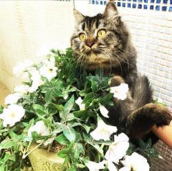 قطة شيرازيه تايغر للبيع