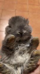 ارانب لوب هولندية Holland lop