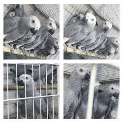طيور الكاسكو الأفريقي للبيع