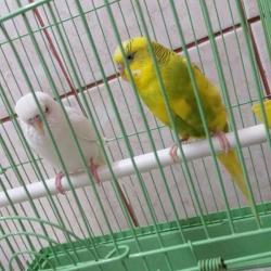 طيور حب باكستاني للبيع