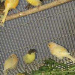 للبيع اناثي سوري طيور