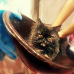 قطة أنثى هاف بيكي