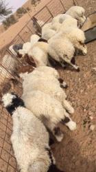 هرافى نعيم 19 خروف و3 رخال