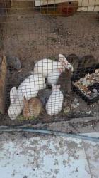15 ارنب للتفاوض