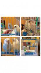 جوز طيور البادجي (طيور الحب)+ قفص وبياضة وثلاث علب اكل