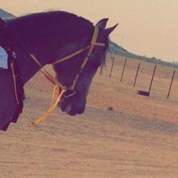 حصان شعبي كفو للبيع