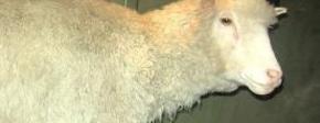 Dolly het schaap