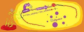 Detectorbacterie