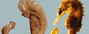 Zeepaardje en hippocampus