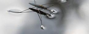 1200px schaatsenrijder   water strider %2843688473224%29