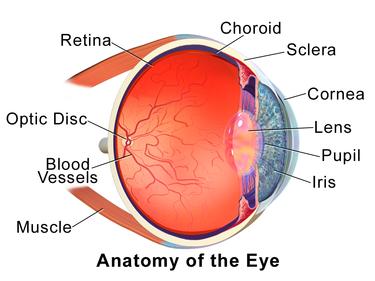 Opbouw menselijk oog