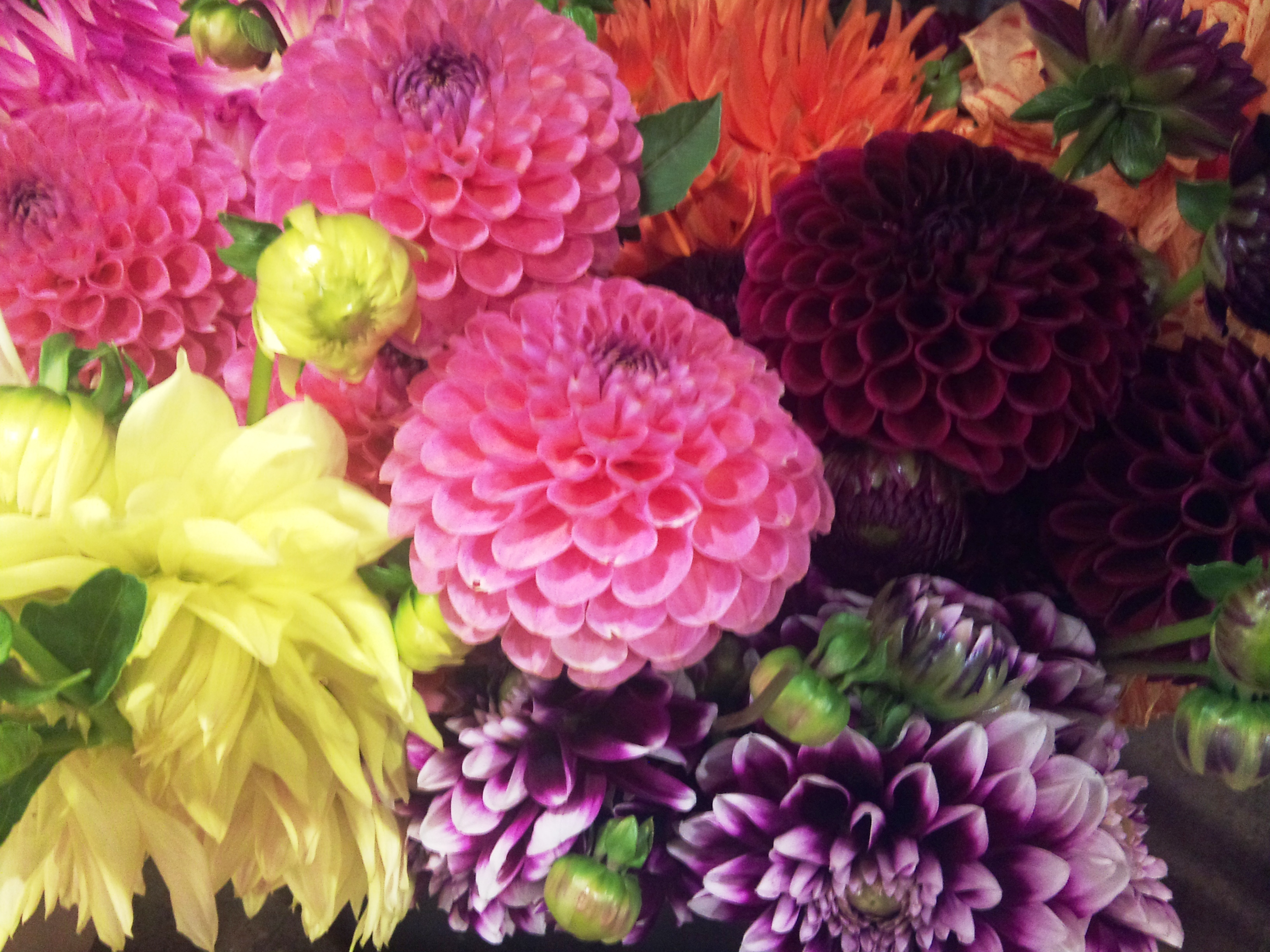 2012-09-dutch-dahlias.jpg?mtime=20171003162831#asset:12718