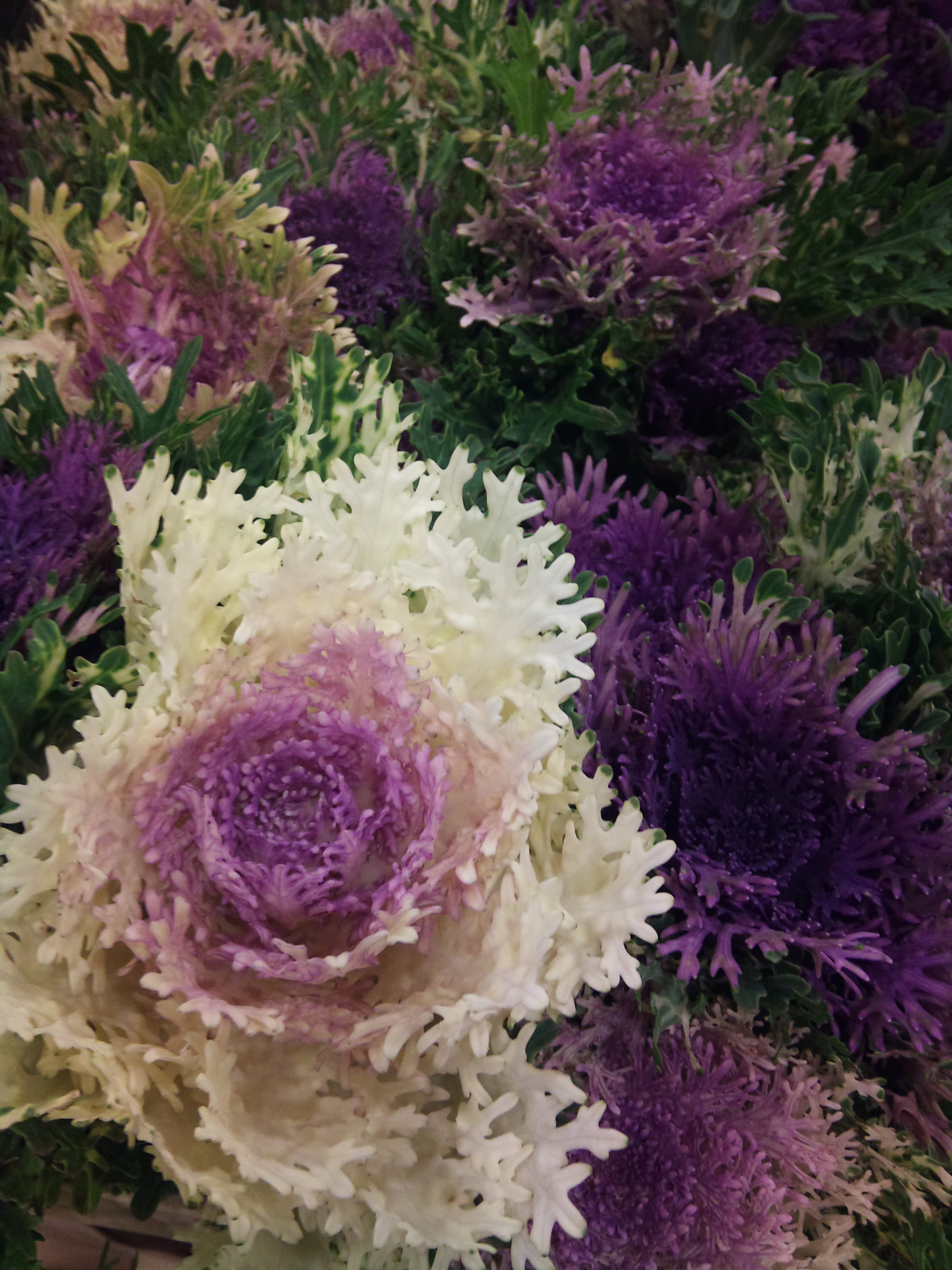 2012-11-lacy-cabbage.jpg?mtime=20171003160336#asset:12693