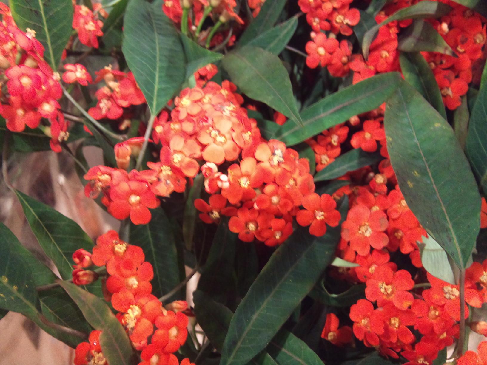 2012-12-Euphorbia-fulgens-Queen-of-Orange.jpg?mtime=20171003154100#asset:12636