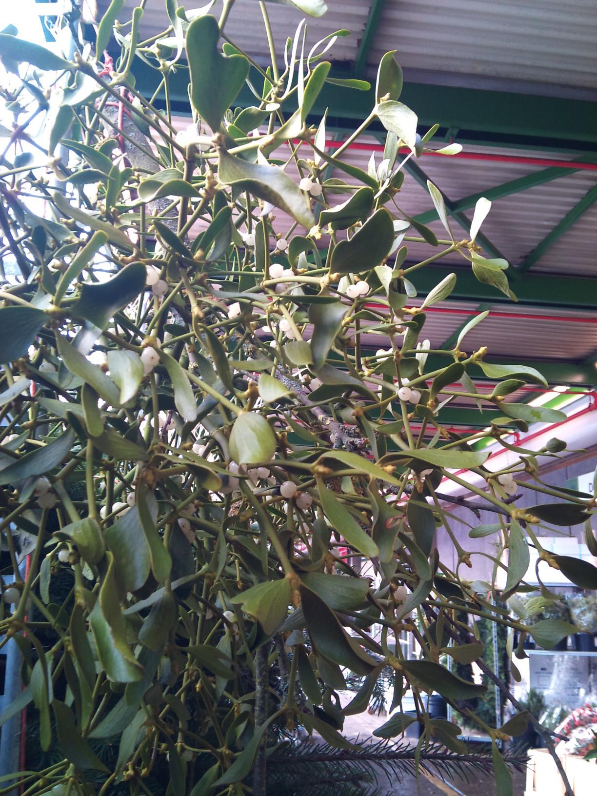 2012-12-mistletoe.jpg?mtime=20171003154121#asset:12655