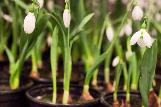 2013-02-Image-13-Quality-Plants-Snowdrops-Flowerona.jpg?mtime=20171003151742#asset:12563