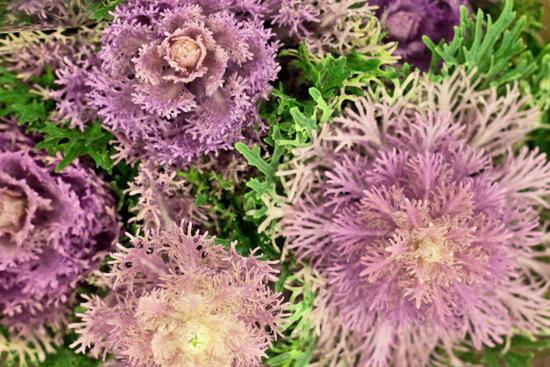 2013-02-Image-26-SR-Allen-Bride-Wine-Brassica-Flowerona.jpg?mtime=20171003151752#asset:12576