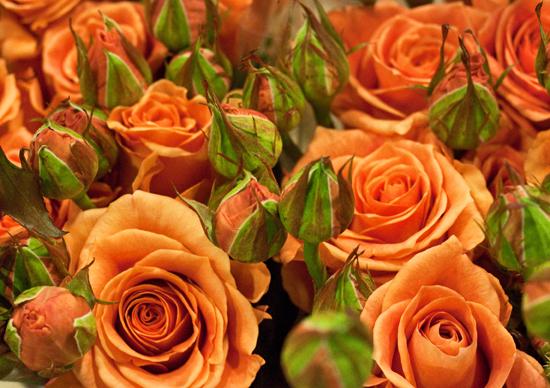 2013-03-22-Apricot-Sasse-Rose-Flowerona.jpg?mtime=20170929144914#asset:12348