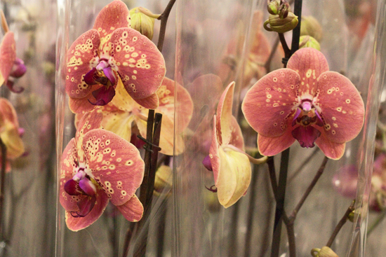 2013-03-27-Phalaenopsis-Orchids-2-Flowerona.jpg?mtime=20170929144916#asset:12353