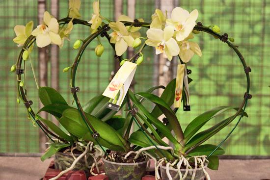 2013-03-28-Phalaenopsis-Orchids-3-Flowerona.jpg?mtime=20170929144917#asset:12354
