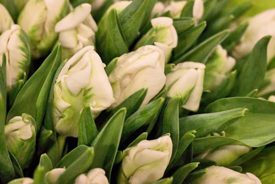 2013-03-3-Parrot-Tulips-2-Flowerona.jpg?mtime=20170929144902#asset:12329