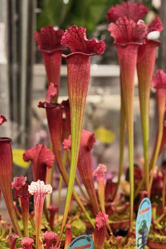 2013-03-35-Sarracenia-Flowerona.jpg?mtime=20170929144921#asset:12361