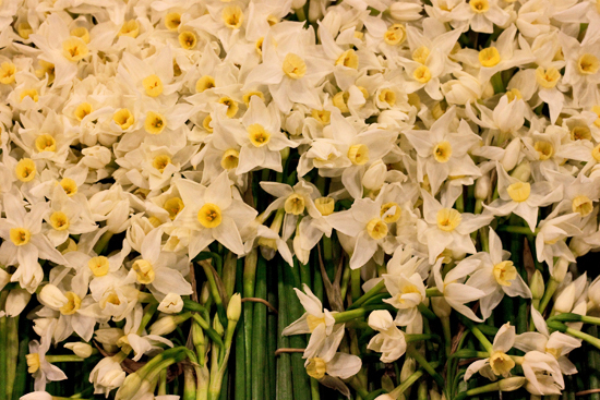 2013-03-7-Narcissi-Flowerona.jpg?mtime=20170929144904#asset:12333