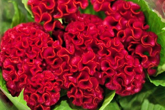 2013-04-10-Celosia-Dennis-Edwards-New-Covent-Garden-Flower-Market-Flowerona-1.jpg?mtime=20170929143151#asset:12306