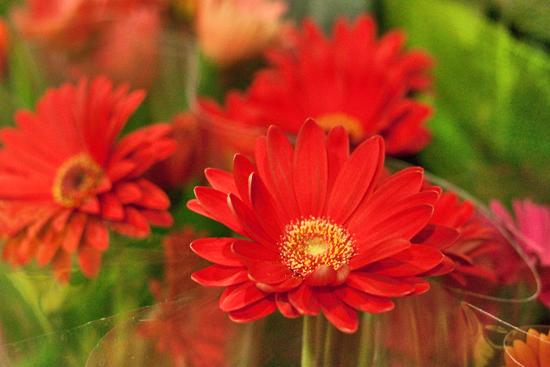 2013-04-13-Gerberas-Evergreen-Exterior-Services-New-Covent-Garden-Flower-Market-Flowerona-1.jpg?mtime=20170929143152#asset:12309