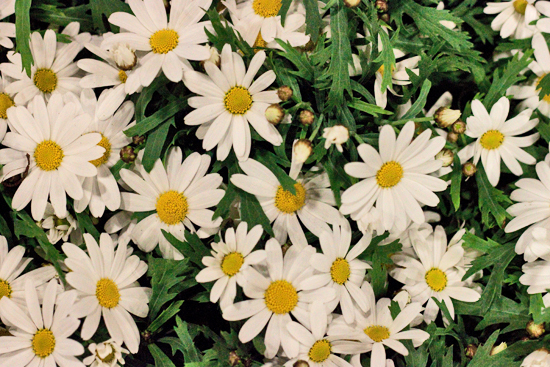 2013-04-15-Marguerite-daisies-Evergreen-Exterior-Services-New-Covent-Garden-Flower-Market-Flowerona-1.jpg?mtime=20170929143154#asset:12311